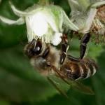 Пчелотерапия Апитерапия