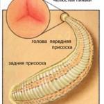 укус пиявки